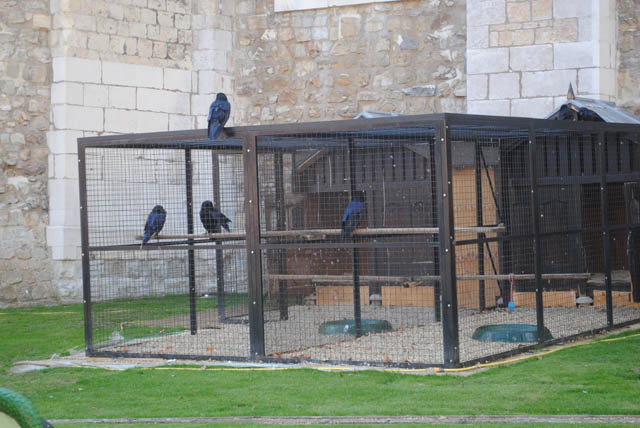 Ravens at the Tower. It's the stuff of legends. Legend has it, if the ravens ever left London, the realm would collapse. They used to clip the wings of the birds so they could only fly in a circle and never leave. To this day, they still keep ravens at the Tower.